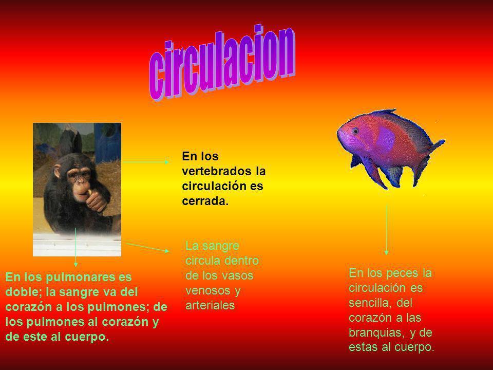 En los vertebrados la circulación es cerrada.