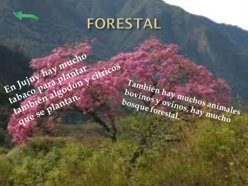 En Jujuy hay mucho tabaco para plantar también algodón y citricos que se plantan. También hay muchos animales bovinos y ovinos, hay mucho bosque fores