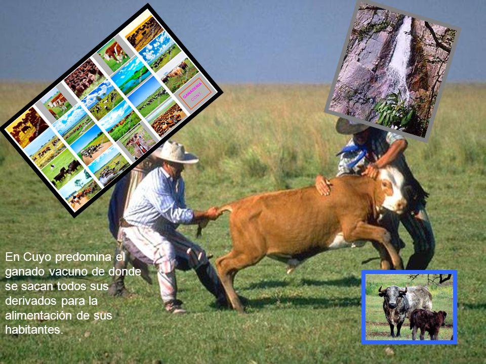 En Cuyo predomina el ganado vacuno de donde se sacan todos sus derivados para la alimentación de sus habitantes.