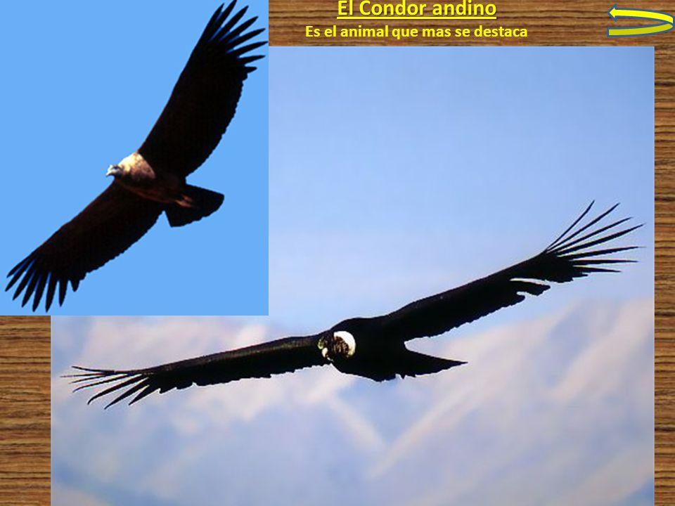 El Condor andino Es el animal que mas se destaca