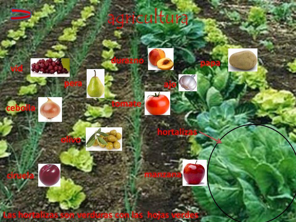 agricultura hortalizas vid tomate papa manzana cebolla durazno olivo pera ciruela ajo Las hortalizas son verduras con las hojas verdes