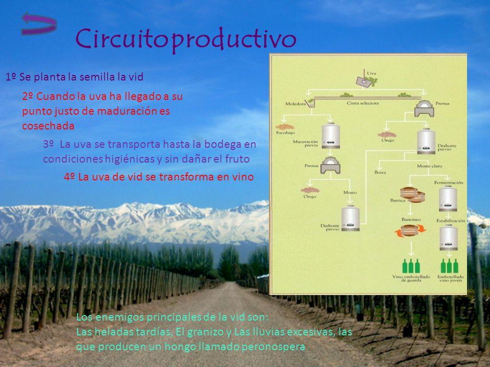 Circuito productivo 2º Cuando la uva ha llegado a su punto justo de maduración es cosechada 1º Se planta la semilla la vid 3º La uva se transporta has