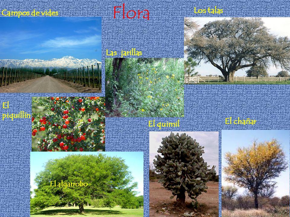 Flora Campos de vides El algarrobo Los talas El piquillín Las jarillas El quimil El chañar