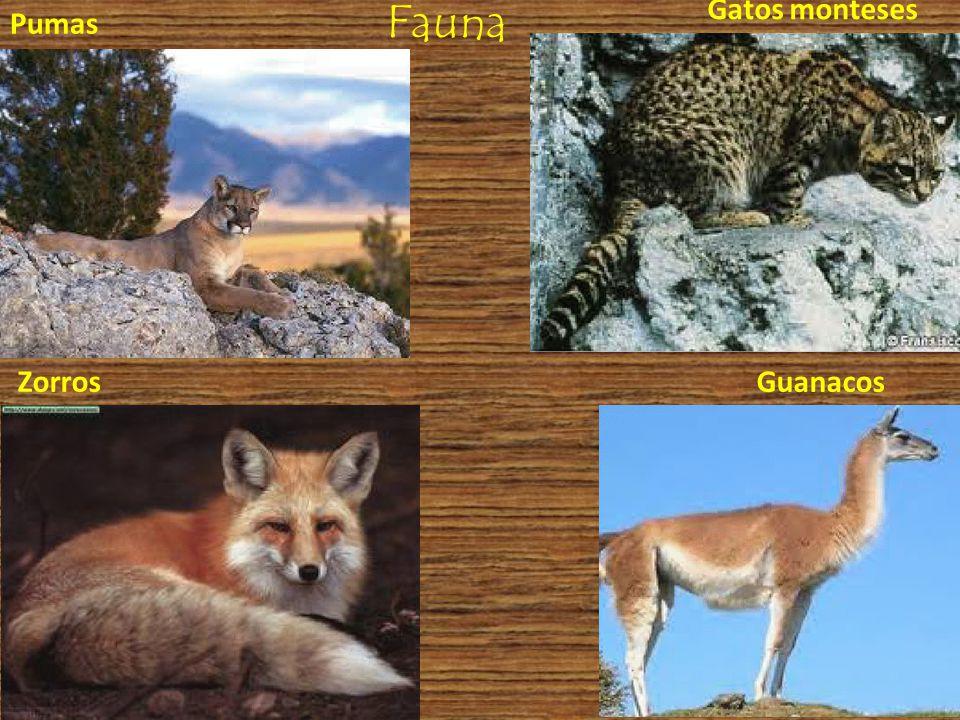Fauna Pumas Zorros Gatos monteses Guanacos