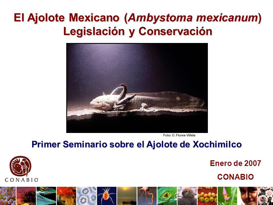 Primer Seminario sobre el Ajolote de Xochimilco El Ajolote Mexicano (Ambystoma mexicanum) Legislación y Conservación Enero de 2007 CONABIO Foto: O.