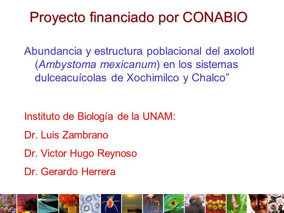 Proyecto financiado por CONABIO Abundancia y estructura poblacional del axolotl (Ambystoma mexicanum) en los sistemas dulceacuícolas de Xochimilco y Chalco Instituto de Biología de la UNAM: Dr.