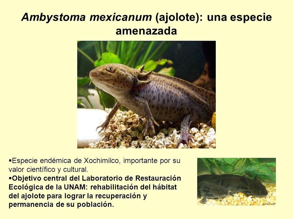 Ambystoma mexicanum (ajolote): una especie amenazada Especie endémica de Xochimilco, importante por su valor científico y cultural. Objetivo central d