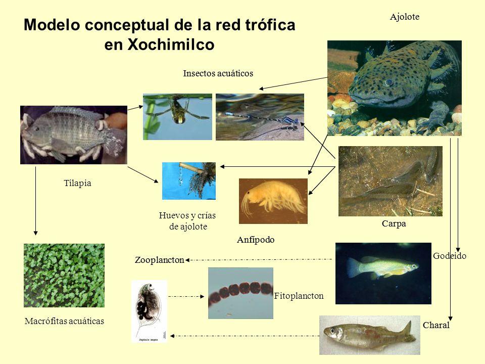 Modelo conceptual de la red trófica en Xochimilco Ajolote Carpa Charal Insectos acuáticos Godeido Zooplancton Anfípodo Ajolote Carpa Charal Tilapia In