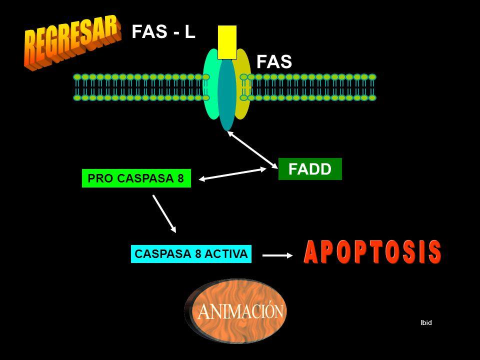 FAS FAS - L FADD PRO CASPASA 8 CASPASA 8 ACTIVA Ibid