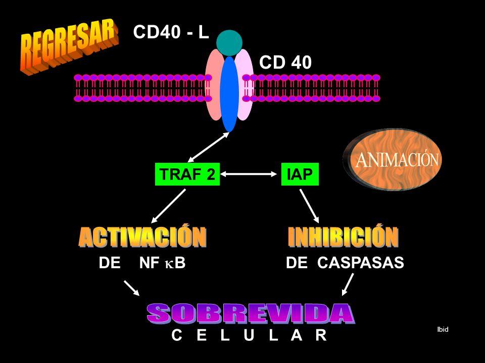 CD 40 CD40 - L TRAF 2IAP DE NF B DE CASPASAS C E L U L A R Ibid