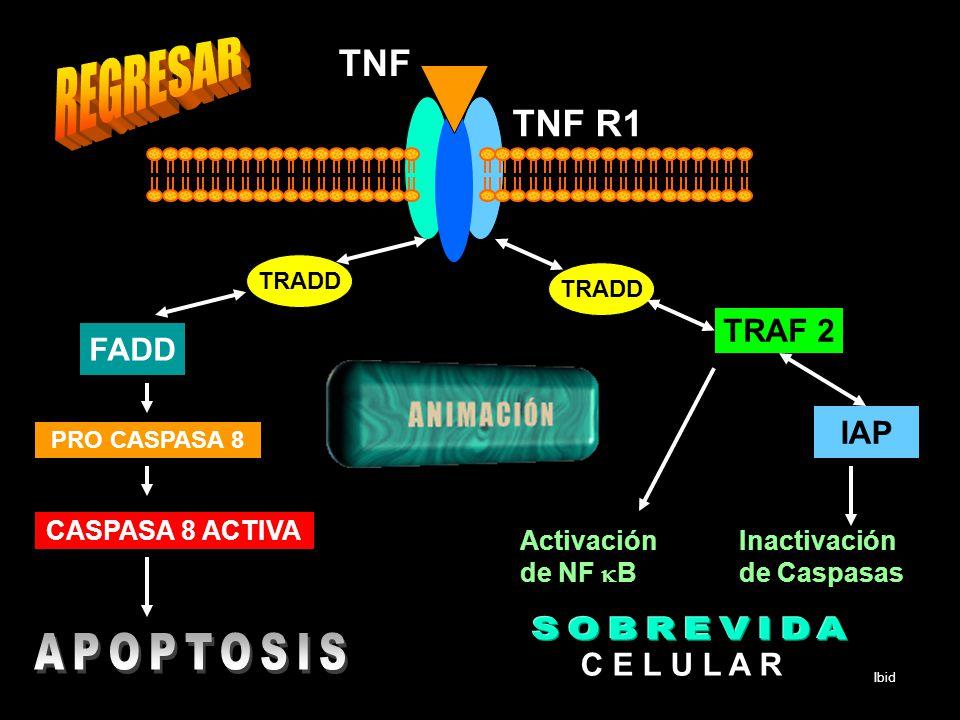 TRADD FADD PRO CASPASA 8 CASPASA 8 ACTIVA TNF R1 TNF TRADD TRAF 2 IAP Activación de NF B Inactivación de Caspasas C E L U L A R Ibid