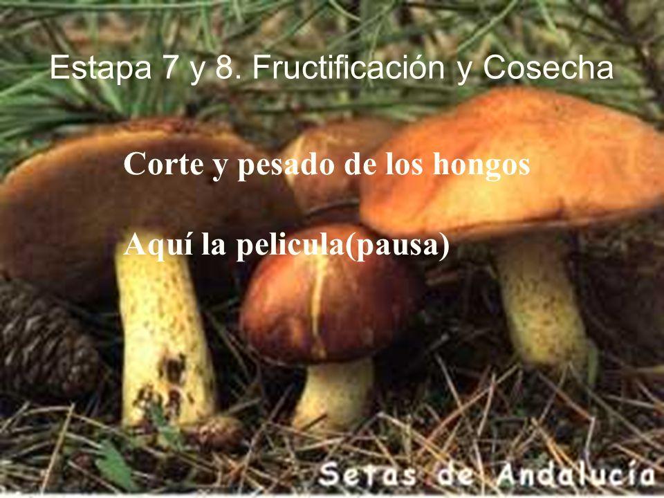 Estapa 7 y 8. Fructificación y Cosecha Corte y pesado de los hongos Aquí la pelicula(pausa)