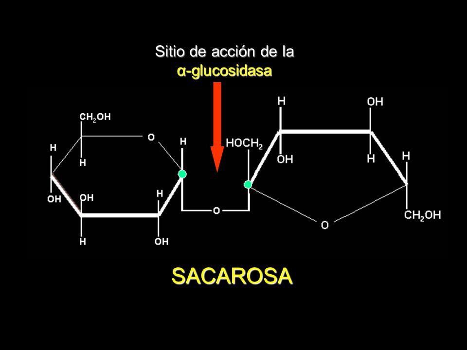 + Na + Ca ++ Despolarización de la membrana Apertura de los canales de calcio voltaje dependientes Calcio intracelular Exocitosis de la insulina de las vesículas Na-K ATPasa K+K+K+K+ K+K+K+K+ Na + Cierre de los canales de K + SU N y R SU = Sulfonilureas NyR = Nateglinida y Repaglinida Célula β MECANISMO DE ACCIÓN DE LOS SECRETAGOGOS DE INSULINA