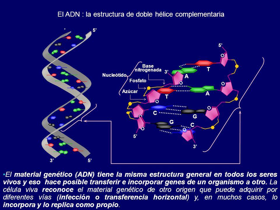 El ADN : la estructura de doble hélice complementaria El material genético (ADN) tiene la misma estructura general en todos los seres vivos y eso hace posible transferir e incorporar genes de un organismo a otro.