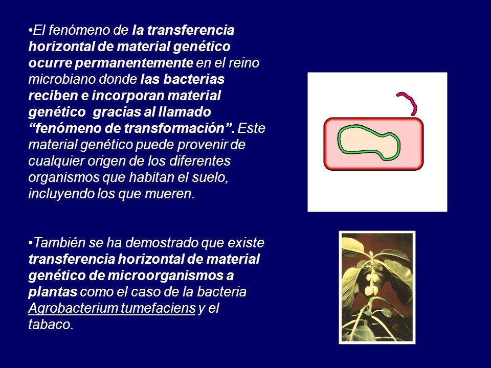 El fenómeno de la transferencia horizontal de material genético ocurre permanentemente en el reino microbiano donde las bacterias reciben e incorporan material genético gracias al llamado fenómeno de transformación.