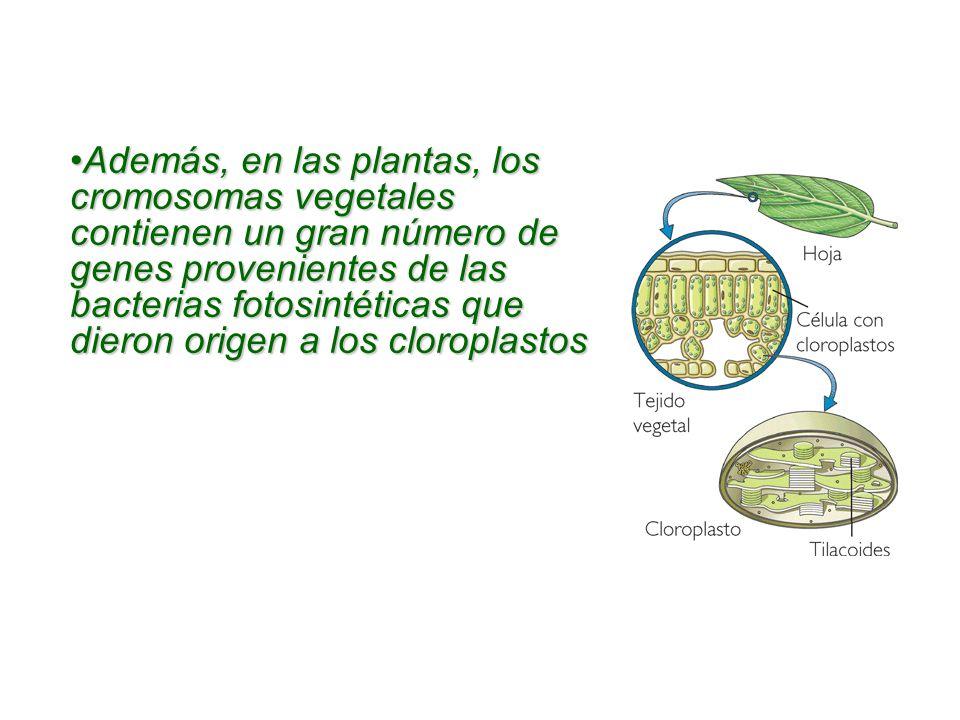 Además, en las plantas, los cromosomas vegetales contienen un gran número de genes provenientes de las bacterias fotosintéticas que dieron origen a los cloroplastosAdemás, en las plantas, los cromosomas vegetales contienen un gran número de genes provenientes de las bacterias fotosintéticas que dieron origen a los cloroplastos