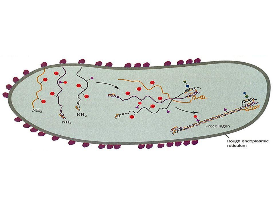 Procesamiento proteolítico Incremento de diversidad –Met aminopeptidasas Como mecanismo de activación –Zimógenos Direccionamiento intracelular –Transl