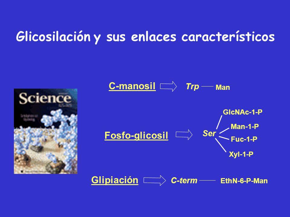 MPTFunción FosforilaciónSeñalización, activación Acetilación Estabilidad, interacción DNA-prots MetilaciónRegulación génica Acilación, modif. por ácid