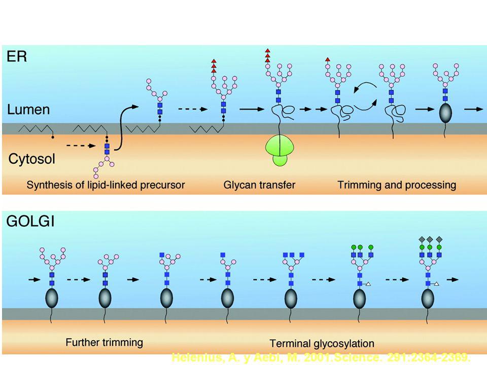 Y la glicosilación, es frecuente entre las proteínas? Apweiler et al., 1999. Biochim Biophys Acta. 1473:4-8. El 65% de las secuencias proteicas regist