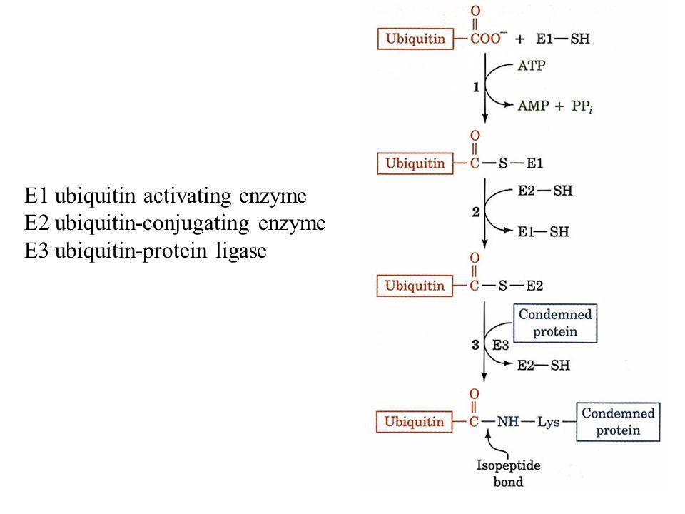 Degradación de proteínas A)Degradación inespecífica en lisosomas B)Degradación específica dependiente de ATP mediada por ubiquitina en proteosomas 26S