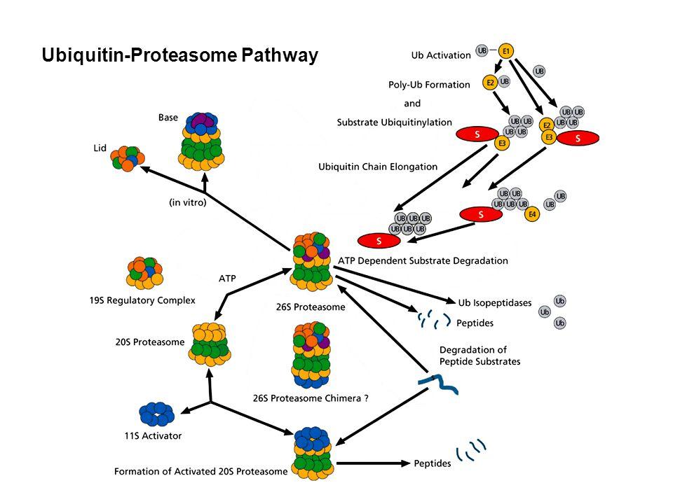 Proteasome/ Ubiquitination