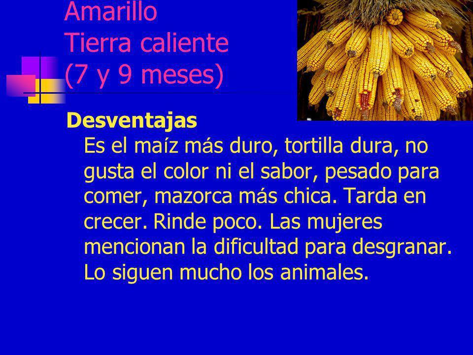 Amarillo Tierra caliente (7 y 9 meses) Desventajas Es el ma í z m á s duro, tortilla dura, no gusta el color ni el sabor, pesado para comer, mazorca m