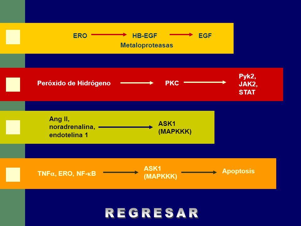 EROEGFHB-EGF Metaloproteasas Pyk2, JAK2, STAT Peróxido de HidrógenoPKC Ang II, noradrenalina, endotelina 1 ASK1 (MAPKKK) Apoptosis TNF, ERO, NF- B