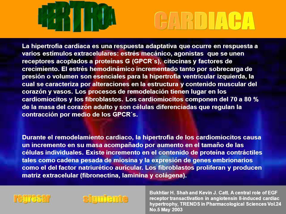 La hipertrofia cardiaca es una respuesta adaptativa que ocurre en respuesta a varios estímulos extracelulares: estrés mecánico, agonistas que se unen