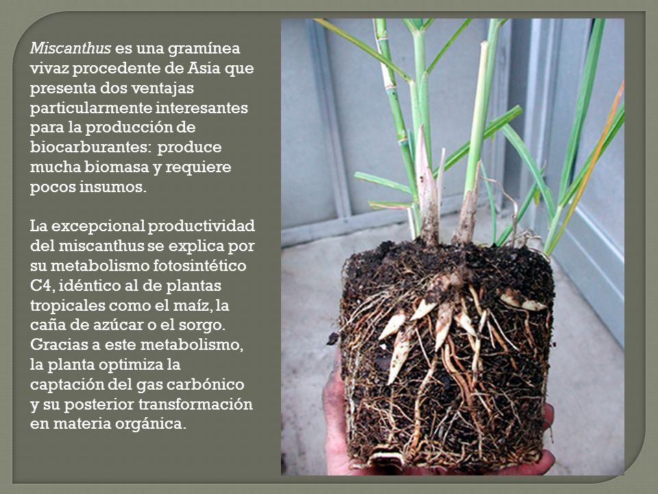 Miscanthus es una gramínea vivaz procedente de Asia que presenta dos ventajas particularmente interesantes para la producción de biocarburantes: produce mucha biomasa y requiere pocos insumos.
