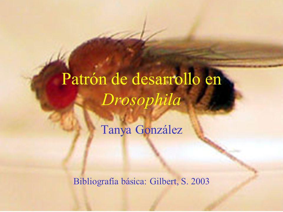 Patrón de desarrollo en Drosophila Tanya González Bibliografía básica: Gilbert, S. 2003