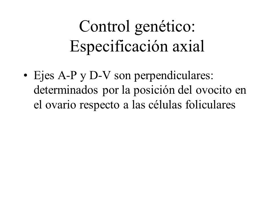 Control genético: Especificación axial Ejes A-P y D-V son perpendiculares: determinados por la posición del ovocito en el ovario respecto a las células foliculares