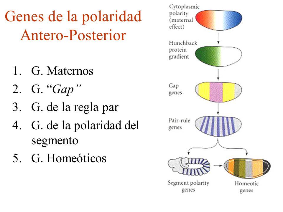 Genes de la polaridad Antero-Posterior 1.G.Maternos 2.G.