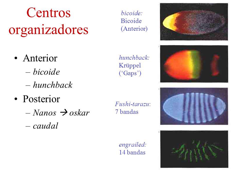 Centros organizadores Anterior –bicoide –hunchback Posterior –Nanos oskar –caudal bicoide: Bicoide (Anterior) hunchback: Krüppel (Gaps) Fushi-tarazu: 7 bandas engrailed: 14 bandas