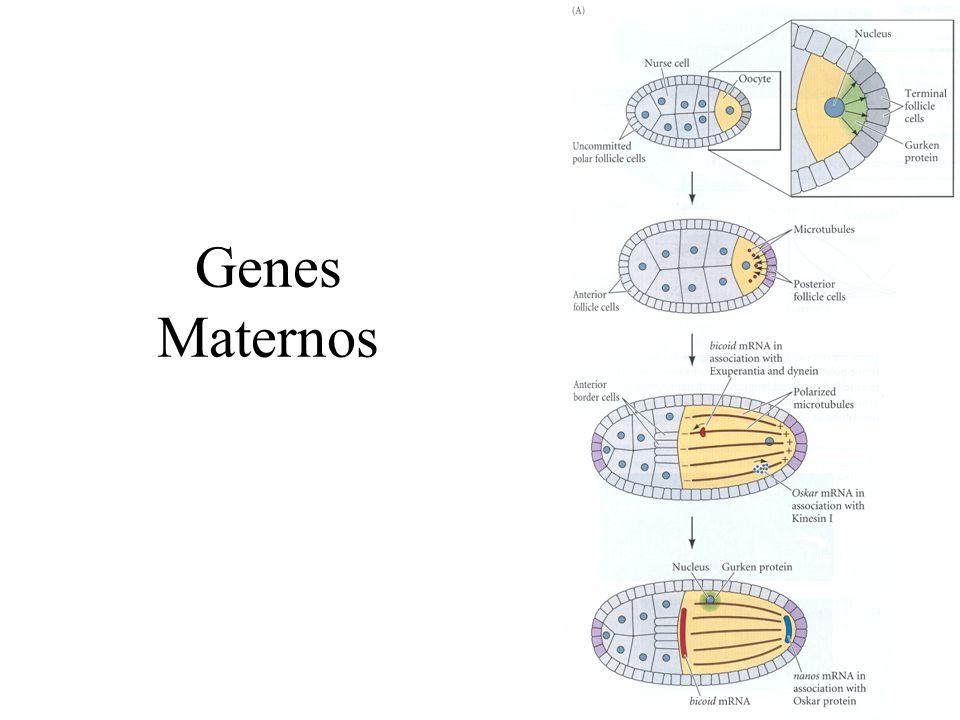 Genes Maternos