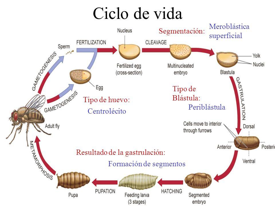Ciclo de vida Tipo de huevo: Segmentación: Centrolécito Meroblástica superficial Tipo de Blástula: Periblástula Resultado de la gastrulación: Formación de segmentos