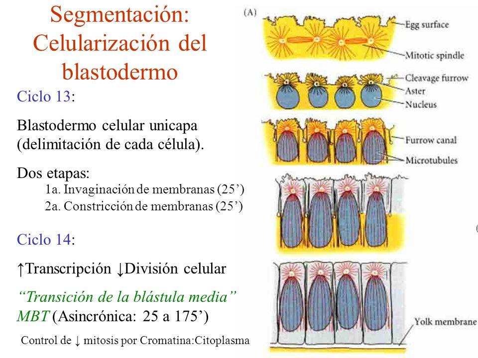 Segmentación: Celularización del blastodermo Ciclo 13: Blastodermo celular unicapa (delimitación de cada célula).
