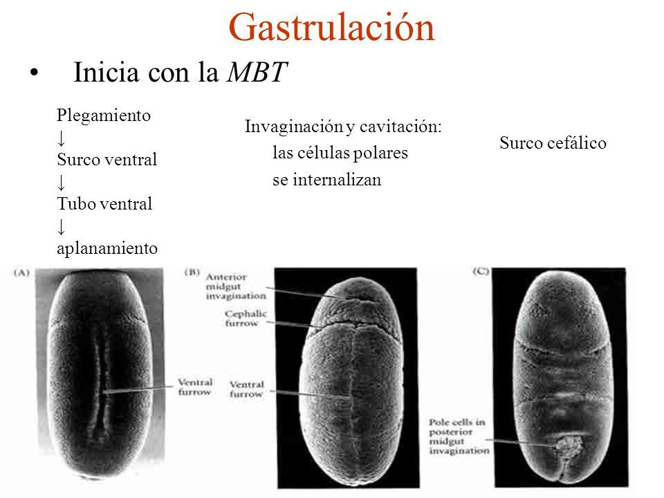 Gastrulación Inicia con la MBT Plegamiento Surco ventral Tubo ventral aplanamiento Invaginación y cavitación: las células polares se internalizan Surco cefálico