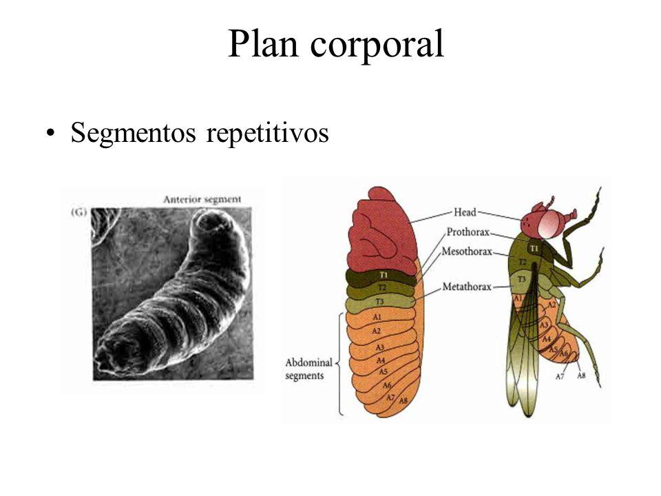 Plan corporal Segmentos repetitivos