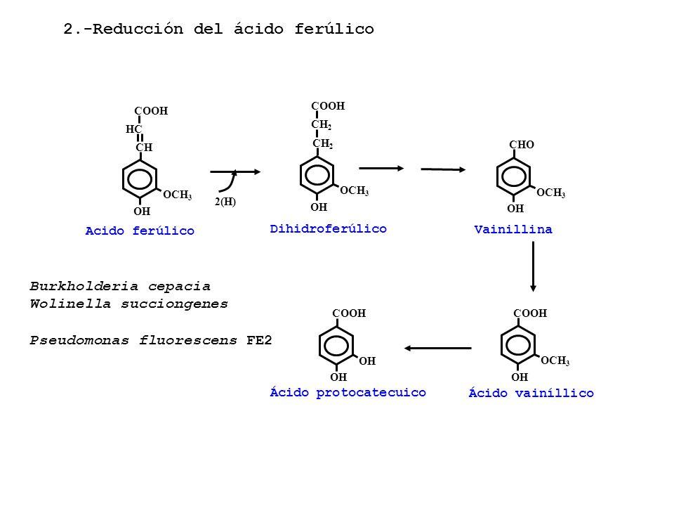 Acido ferúlico OCH 3 CHCH OH HCHC COOH OCH 3 CH2CH2 OH Dihidroferúlico OCH 3 CHO OH Vainillina OH COOH OH Ácido protocatecuico OCH 3 COOH OH Ácido vai