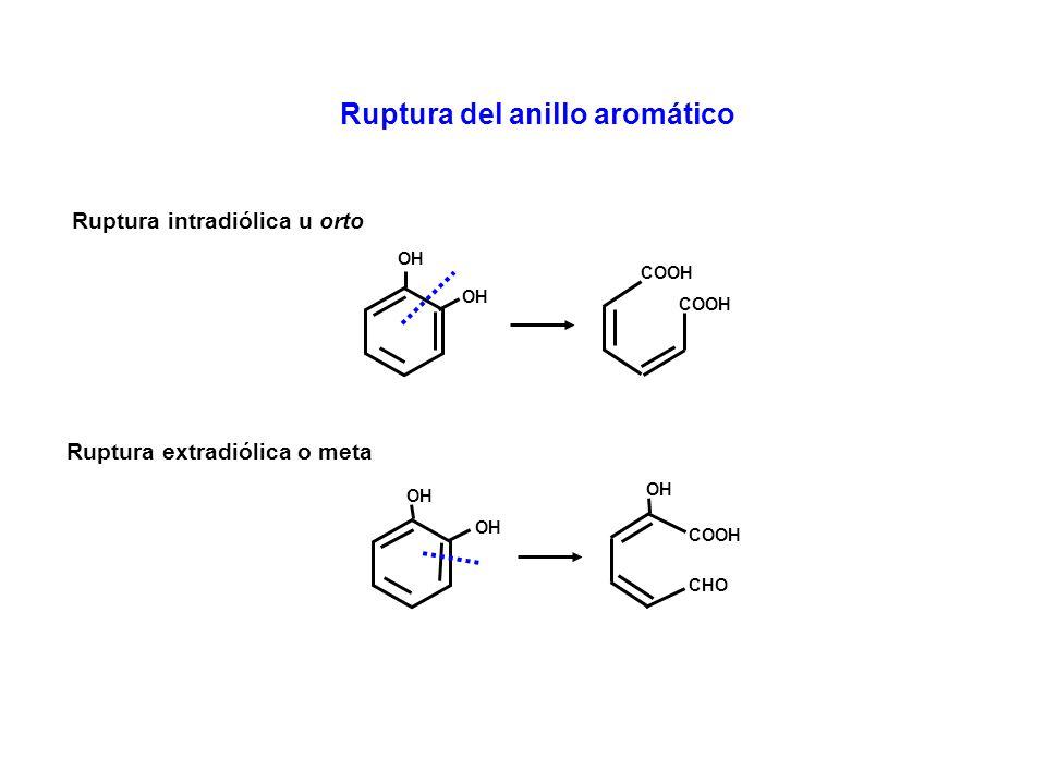 Ruptura del anillo aromático OH COOH Ruptura intradiólica u orto OH CHO COOH Ruptura extradiólica o meta OH