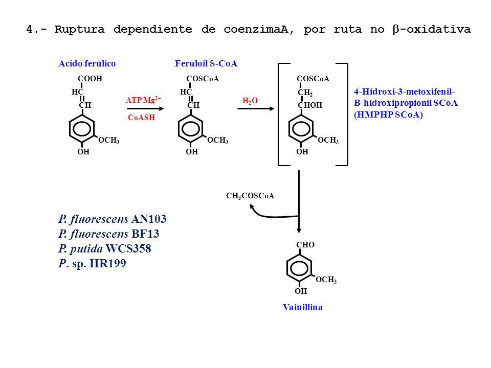 Acido ferúlico OCH 3 CHCH OH HCHC COOH OCH 3 CHCH OH HCHC COSCoA ATP Mg 2+ CoASH Feruloil S-CoA H2OH2O OCH 3 CHOH OH COSCoA CH2CH2 4-Hidroxi-3-metoxif