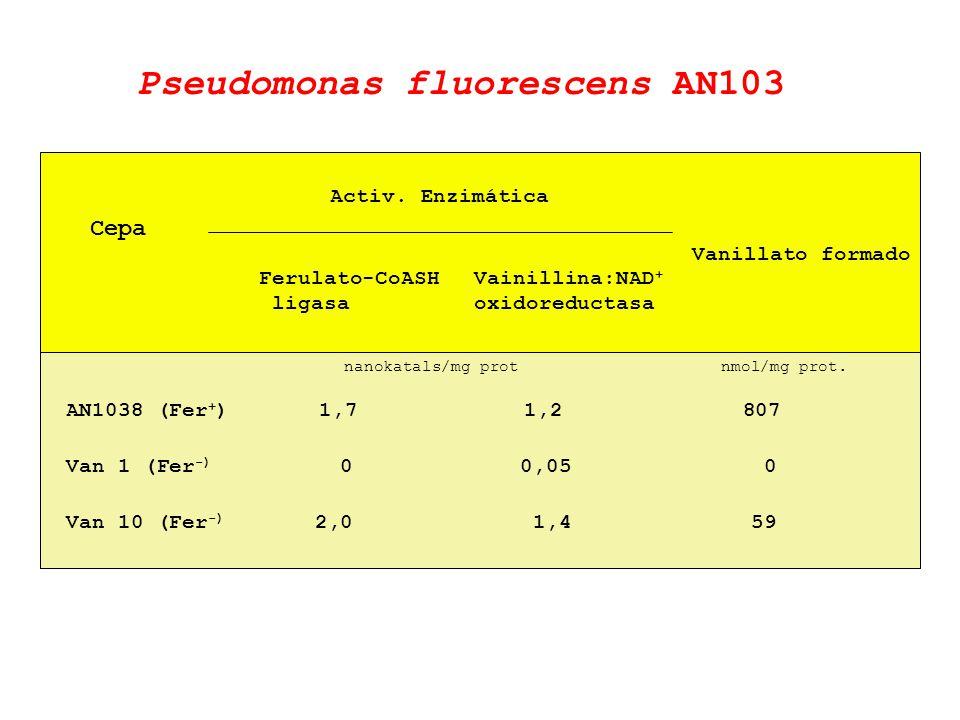Cepa Activ. Enzimática Ferulato-CoASH ligasa Vainillina:NAD + oxidoreductasa AN1038 (Fer + ) 1,7 1,2 807 Van 1 (Fer -) 0 0,05 0 Van 10 (Fer -) 2,0 1,4