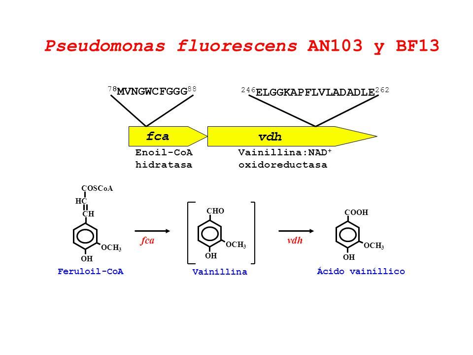 fca vdh Enoil-CoA hidratasa Vainillina:NAD + oxidoreductasa Feruloil-CoA OCH 3 CHCH OH HCHC COSCoA OCH 3 CHO OH Vainillina OCH 3 COOH OH fcavdh Ácido