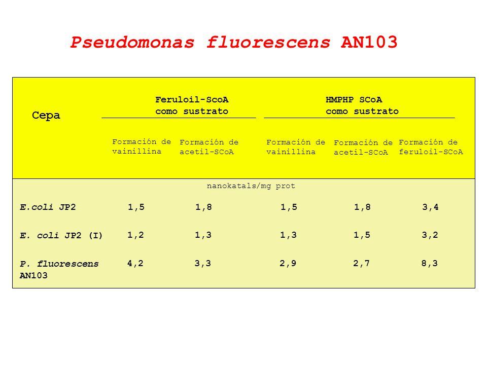 Cepa Feruloil-ScoA como sustrato Formación de vainillina E.coli JP2 E. coli JP2 (I) P. fluorescens AN103 nanokatals/mg prot Pseudomonas fluorescens AN