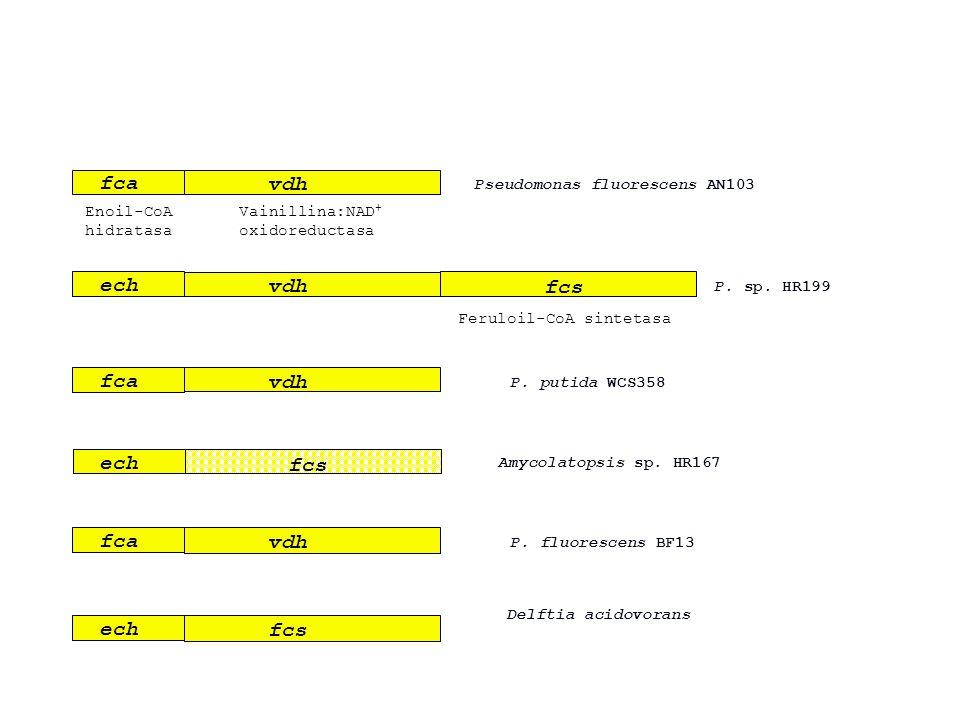 fca vdh Enoil-CoA hidratasa Vainillina:NAD + oxidoreductasa Pseudomonas fluorescens AN103 ech vdh fcs Feruloil-CoA sintetasa P. sp. HR199 fca vdh P. p