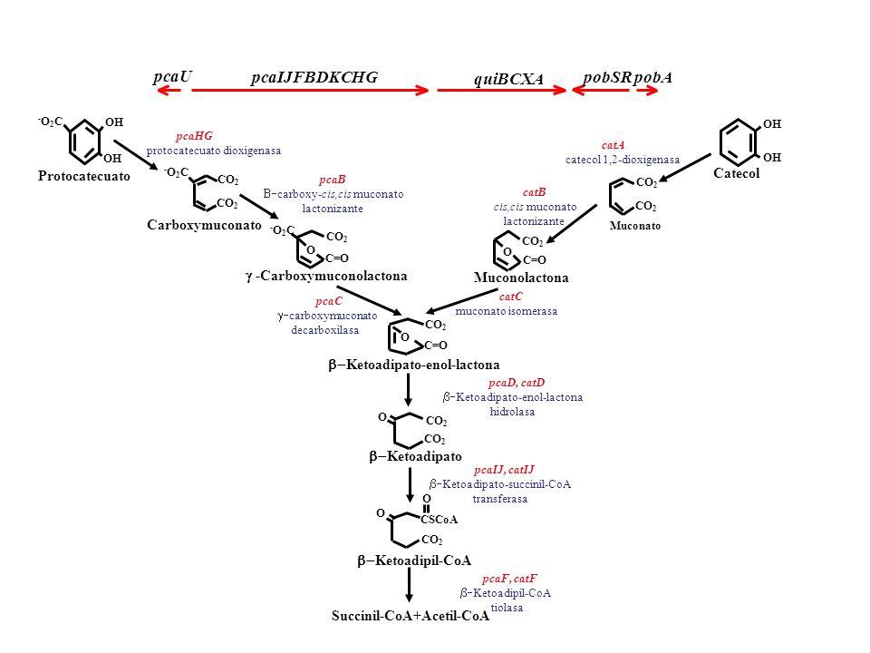 Carboxymuconato Protocatecuato OH -O2C-O2C Catecol CO 2 Muconato -O2C-O2C CO 2 C=O O -Carboxymuconolactona Muconolactona CO 2 O Ketoadipato O CSCoA CO