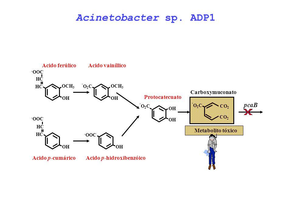 OCH 3 OH -O2C-O2C Acido vainíllico OH -O2C-O2C Protocatecuato CO 2 -O2C-O2C Carboxymuconato pcaB Metabolito tóxico OCH 3 OH HC Acido ferúlico HC - OOC
