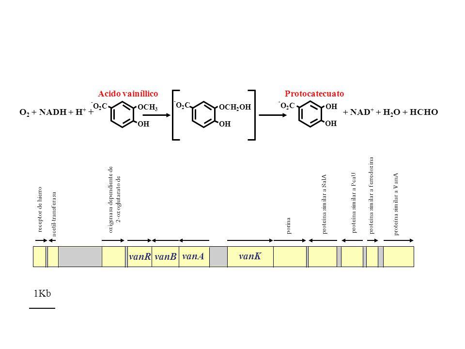 vanR vanB vanAvanK proteína similar a VanA proteína similar a ferredoxina proteína similar a PcaU proteína similar a SalA porina oxigenasa dependiente
