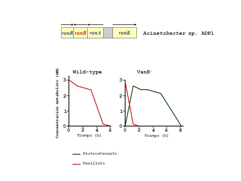 vanR vanB vanAvanK Acinetobacter sp. ADP1 3 2 1 0 Concentración metabolito (mM) 3 2 1 0 0 2 46 0 2 468 Tiempo (h) Protocatecuato Vanillato Wild-type V