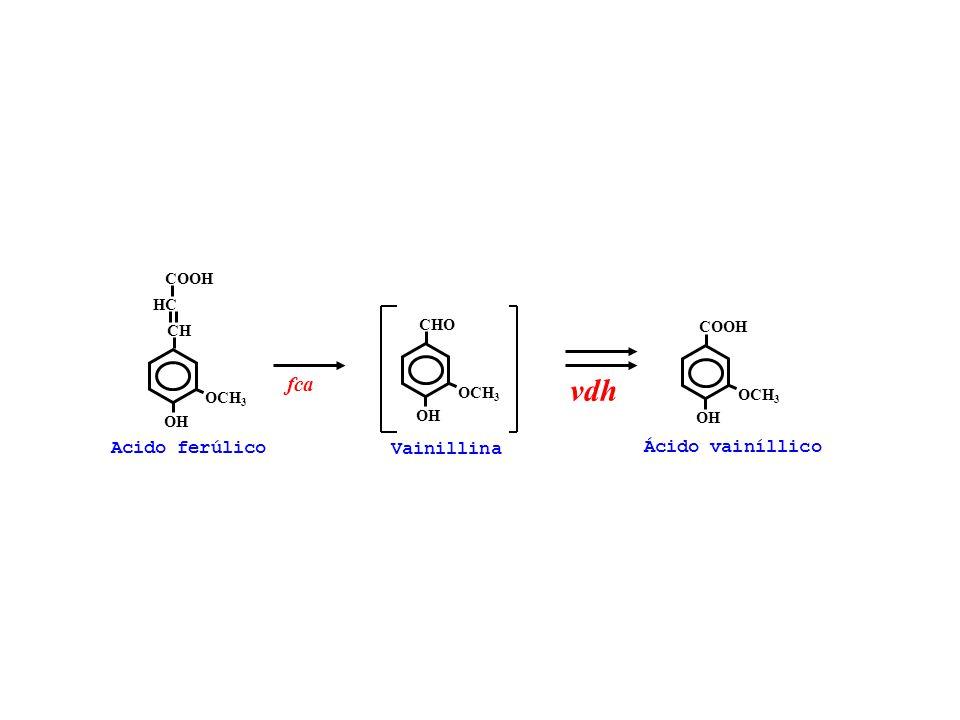 Acido ferúlico OCH 3 CHCH OH HCHC COOH OCH 3 CHO OH Vainillina OCH 3 COOH OH fca vdh Ácido vainíllico